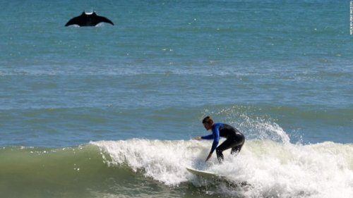 A giant manta ray jumped out of the ocean and photobombed a surfer