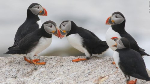 By learning to think like a puffin, this conservationist has saved seabirds around the world