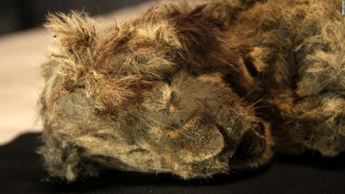 Perfectly preserved cave lion cub found frozen in Siberia is 28,000 years old