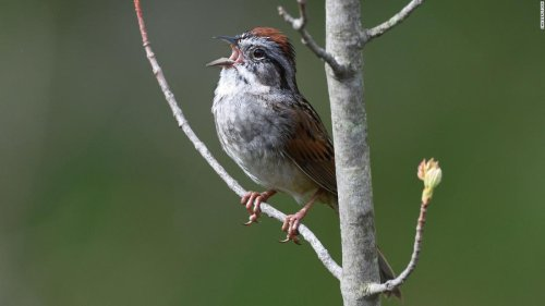 Songbirds sing so loudly at dawn because they're warming up, study finds