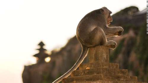 Macaque monkeys at a Bali temple can spot expensive items to steal and ransom for food