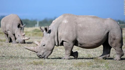 10 more eggs have been harvested from the only 2 northern white rhinos left in the world