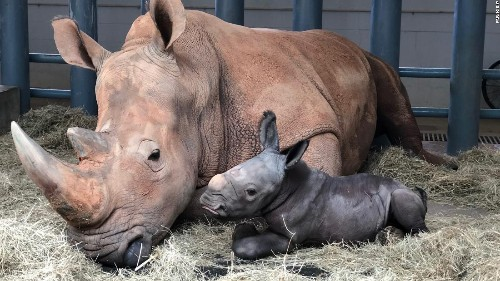 An endangered white rhino was born at Disney's Animal Kingdom theme park