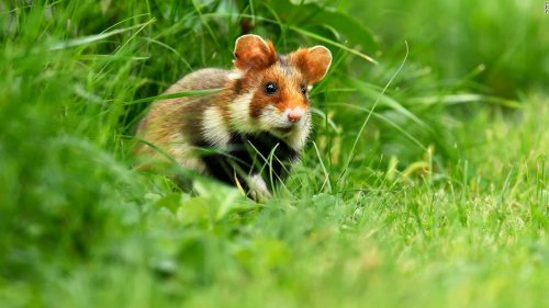 European hamster among latest species to become critically endangered