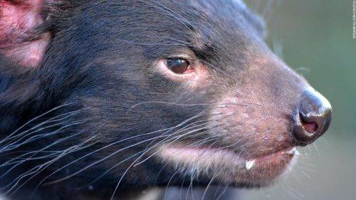 Tasmanian devils wipe out penguin colony on Australian island