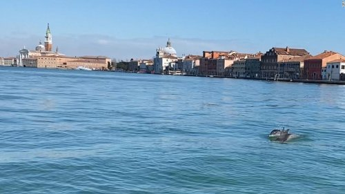 These dolphins took a day trip up Venice's Grand Canal
