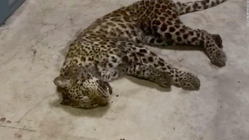 Zoo waited a week before alerting public 3 leopards were loose