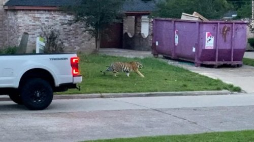 After the Texas missing tiger saga, owning a big cat as a house pet might become illegal in the US