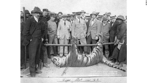 The tigers that once terrorized Hong Kong are almost extinct