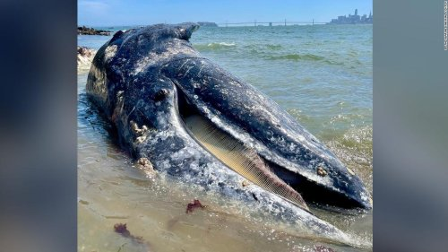Four gray whales have been found dead in California's Bay Area within eight days