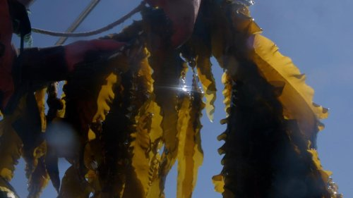 This startup grows kelp then sinks it to pull carbon from the air
