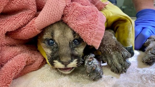 Mountain lion cub rescued from California wildfire