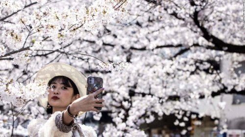 Japan records earliest cherry blossom bloom in 1,200 years, as climate crisis intensifies