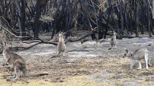 From horror to hope on Australia's kangaroo killing field