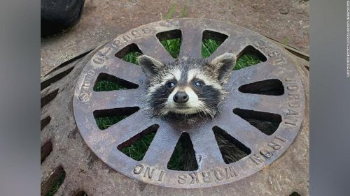 Baby raccoon stuck in sewer cover freed by firefighters
