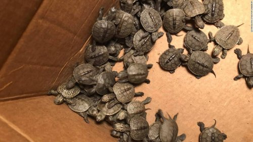 A New Jersey university is caring for more than 800 baby turtles rescued from storm drains