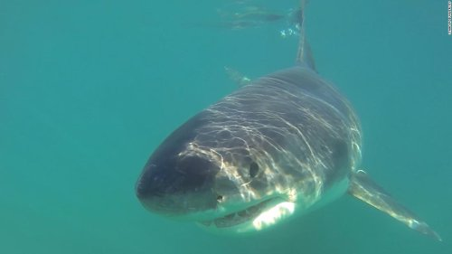 As white sharks gather in Monterey Bay, scientists grab the chance to study them up close