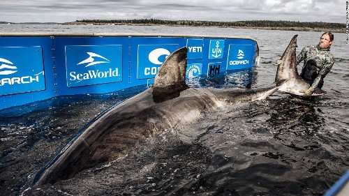 Massive, 50-year-old great white shark dubbed 'Queen of the Ocean' tagged