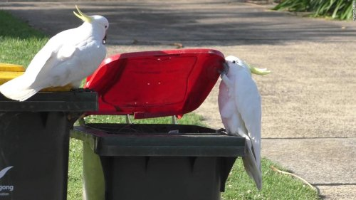 Why trash-raiding parrots in Sydney are smarter than 'bin chickens'