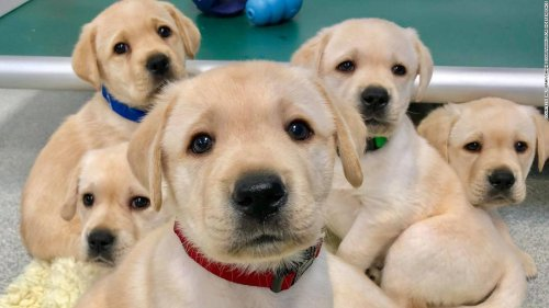 Puppies are born ready to interact with people, study finds