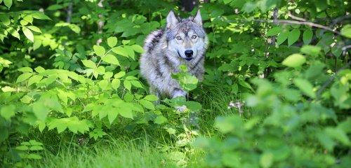 Des loups, des cerfs... et nous