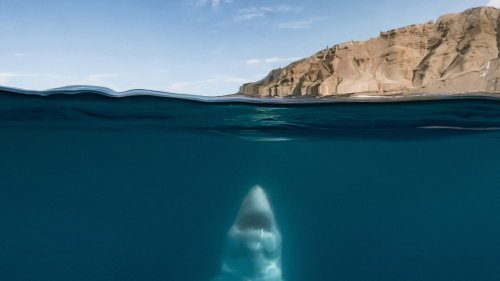 Photographer Andy Mann Has No Fear Swimming With Great White Sharks