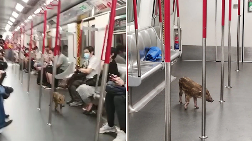 Riding 'round town: Baby boar takes MTR at Quarry Bay, changes to cross-harbor train