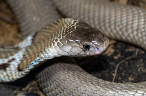 Teacher bitten by cobra inside classroom in Aurora