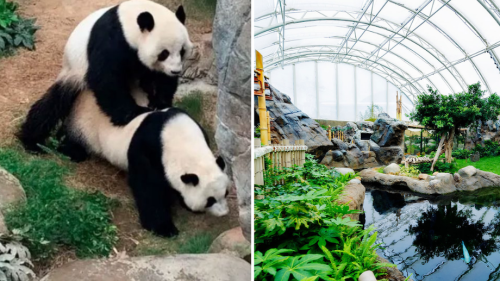 Privacy please: Ocean Park exhibit shut for panda couple's annual mating season