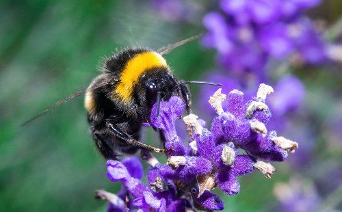 New Study Finds Undisclosed Ingredients in Roundup Lethal to Bumblebees