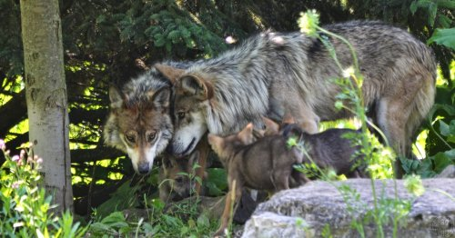 'Catastrophic and Irreparable Harm' to Wolves Averted as Wisconsin Judge Cancels Hunt