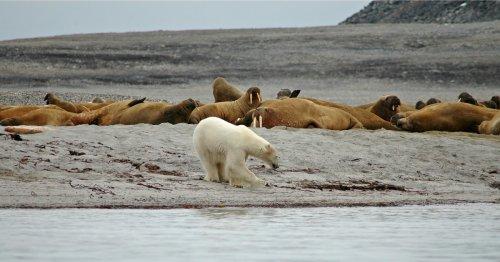 Biden Admin. Sued for Letting Big Oil Harass 'Imperiled' Polar Bears