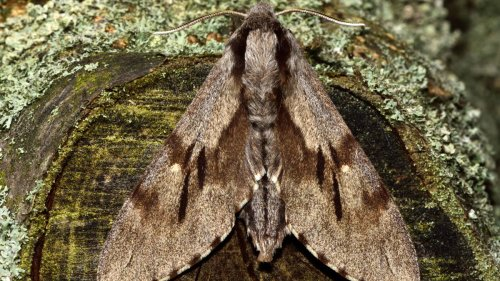 Enormous Moth So Big It Can Barely Fly Found at School in Australia