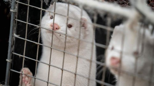 Mink and Staff Infected With COVID-19 at Oregon Farm After Outbreak