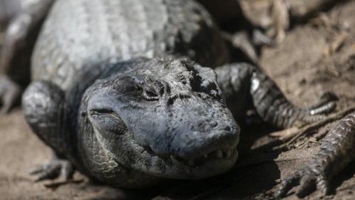 Video Shows Massive Alligator Nearly Attacking Florida Fisherman