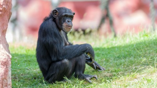 Belgian Woman Banned From Zoo Over Her Relationship With Chimpanzee