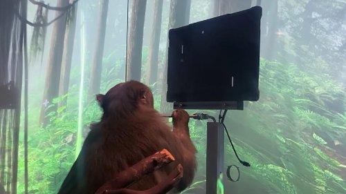 Los chips de Neuralink permiten a este mono jugar al Pong con su mente, según muestran en un video