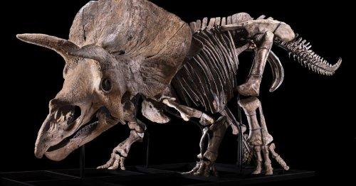 Le plus grand tricératops du monde exposé à Paris avant sa mise aux enchères | Connaissance des Arts