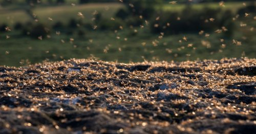 Cork has second highest callout rate for flying ants