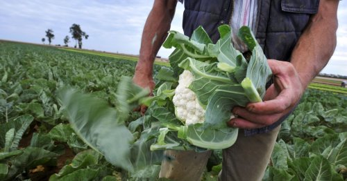Farm workers offered £30 an hour to pick broccoli