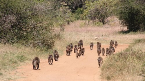 Baboons wearing Fitbits reveal community secrets