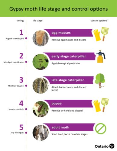 FAQ: Gypsy moth caterpillars