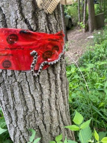 How to control a gypsy moth outbreak