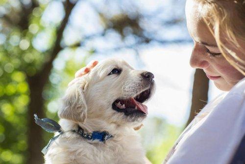 Amis. Les petits labradors sont génétiquement programmés pour interagir avec les humains