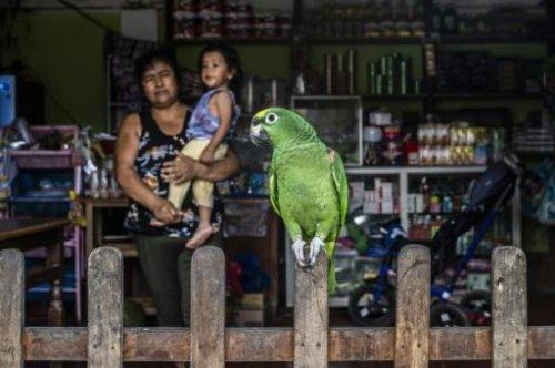 Au Pérou, les cultivateurs de coca pris au piège entre pauvreté, guérilleros et narcos