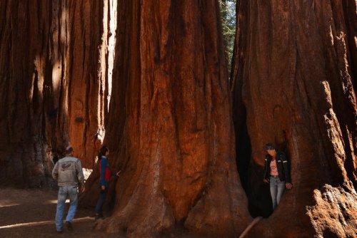 Incendie. Les séquoias géants de Californie résisteront-ils aux flammes?