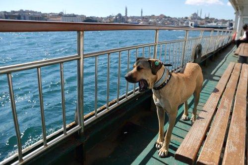 Turquie. Boji, le chien voyageur devenu la mascotte d'Istanbul