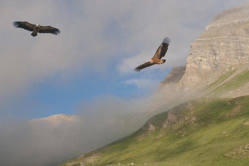 Italie. En Sardaigne, la singulière alliance entre vautours et bergers