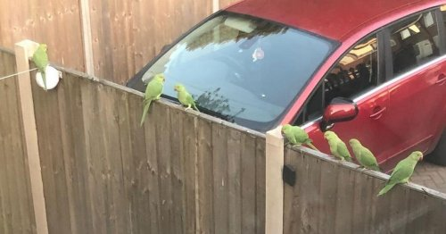 More parakeets spotted in Coventry - this time in our back yard!