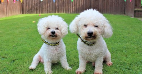 The adorable dad and son dog duo looking for their 'fur'-ever home